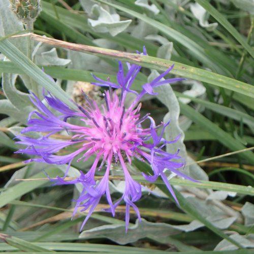 Cyanus Montanus Centaurée Des Montagnes