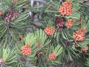 Pinus Sylvestris Cône Mâle