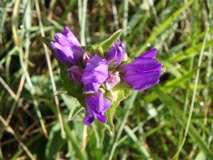 Scutellaria Alpina2 1