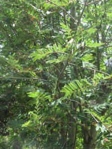 Sorbus Aucuparia Sorbier Des Oiseleurs