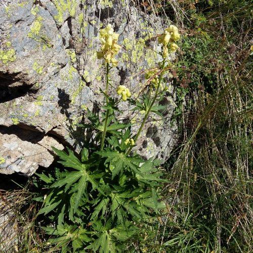 Aconitum Lycoctonum (aconit Tue Loup)