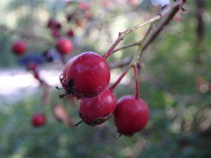Crataegus-monogyna-Aubépine-fruit-