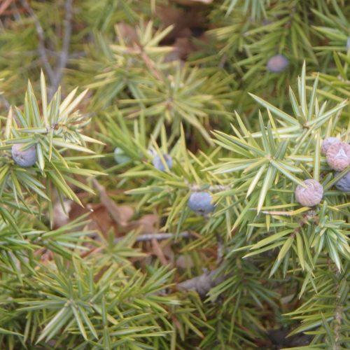 Juniperus Communis Genevrier Commun