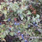 Prunus Spinosa Prunellier 1