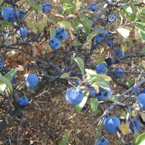 Prunus Spinosa Prunellier