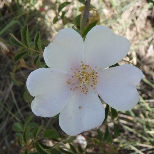 Rosa Canina1