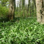 Allium Ursinum Tapis