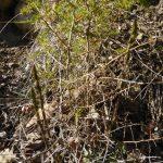 Asparagus Acutifolius Asperge