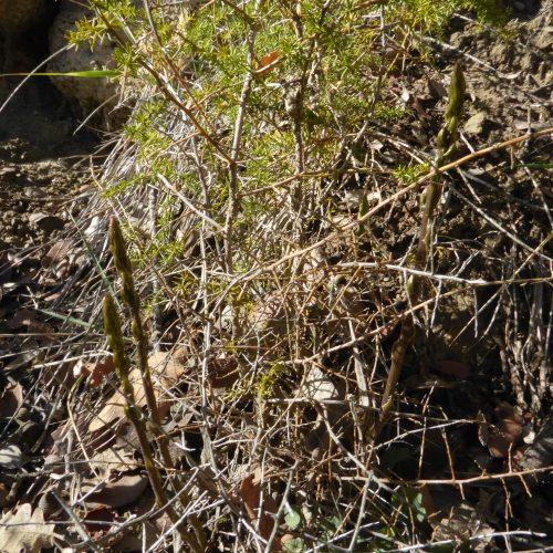 Asparagus Acutifolius Asperge 1