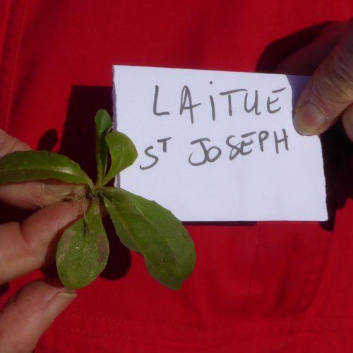 Lactuca Sativa Serriola Laitue St Joseph
