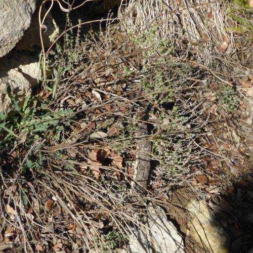 Reichardia Picroides Cousteline
