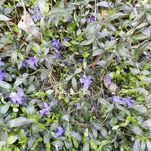 Vinca Minor Pervenche