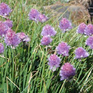 Allium Schoeneprasum