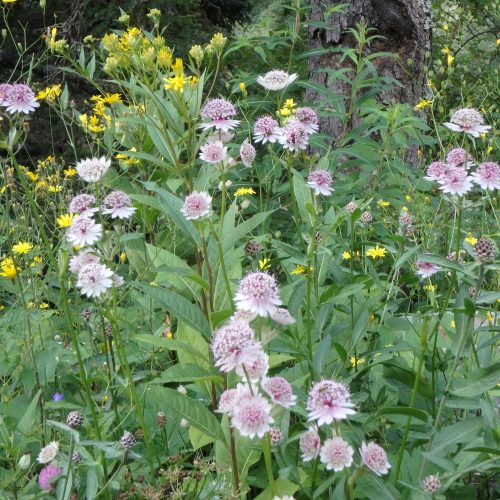 Astrantia Major4