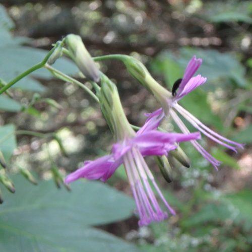 Prenanthes Purpurea Fleur