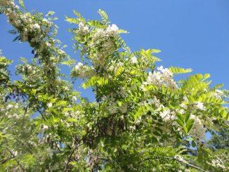 Robinier Pseudo Acacia