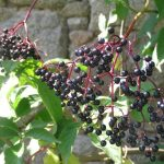 Sureau Noirs Fruits