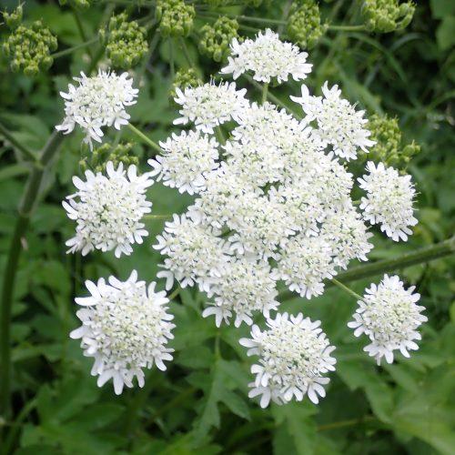 Heraclum Sphondylium Fleurs