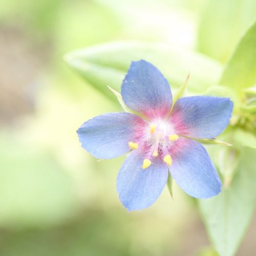 Mouron Bleu 1 1