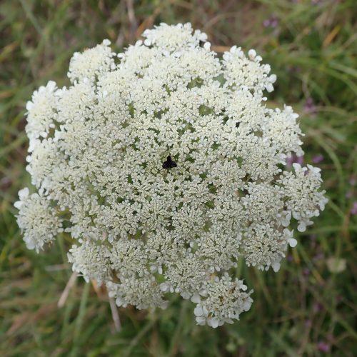 Carotte Fleur Stérile Pourpre Au Milieu