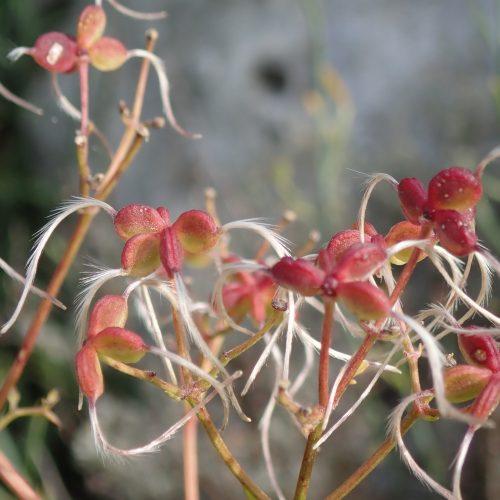 Clematis Flammula Fruit