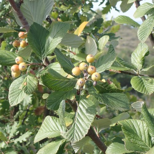 Sorbus Aria Fruits