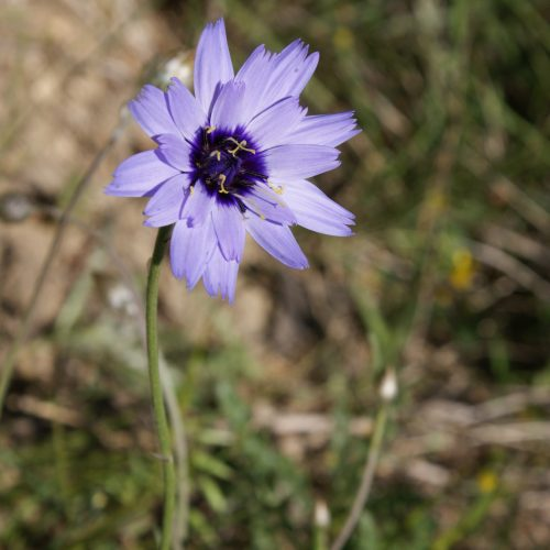 Catananche Caeruela Herbe Aux Cigales