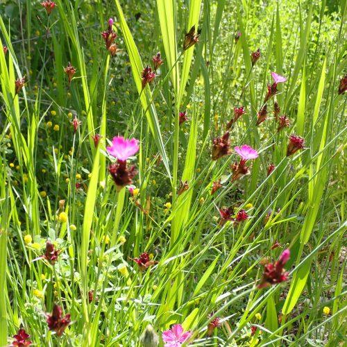 Dianthus Balbisii...