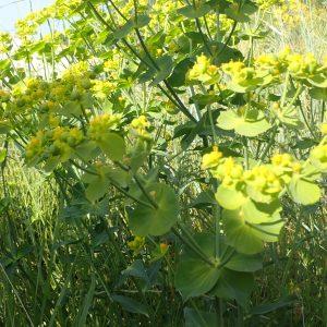 Euphorbia Serrata 1