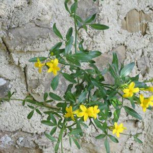 Jasminum Fruticans 1