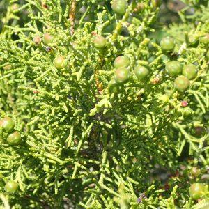 Juniperus Phoenica