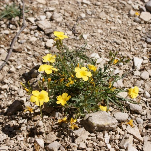 Linum Suffruticosum NA1