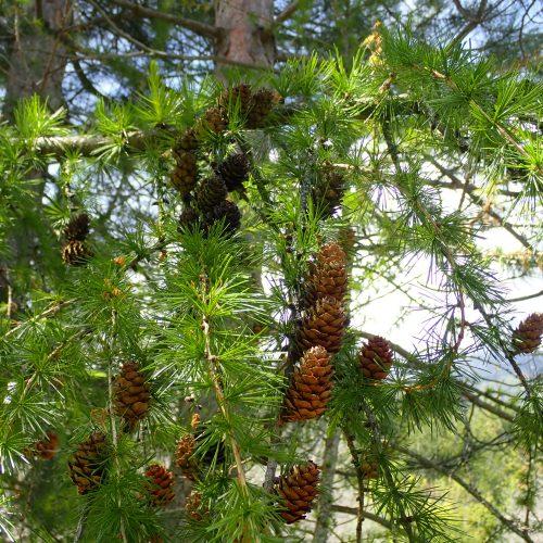 Pinus Sylvestris Cônes Femelles 2e Année