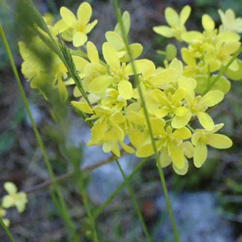Biscutella Laevigata Fleurs Lunetière