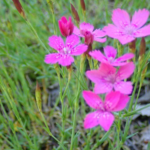 Dianthus Deltoides Oeillet à Delta