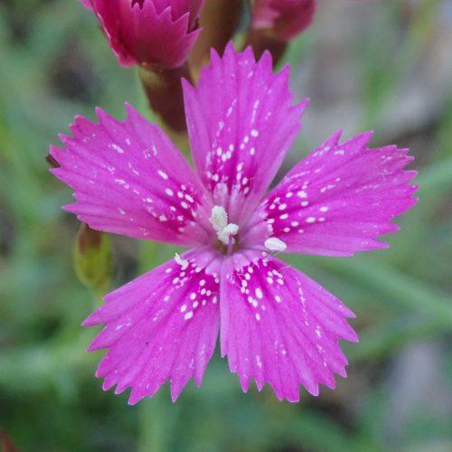 Dianthus Deltoides Oeillet à Delta.