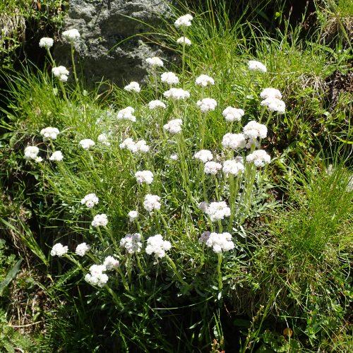 Pieds De Chats Antennaria Dioica