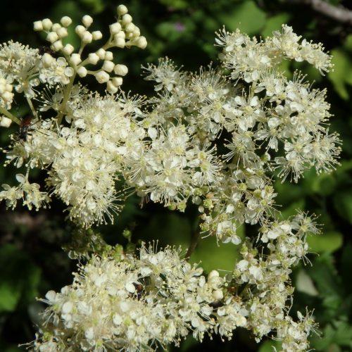 Spirea Ulmaria Fleurs