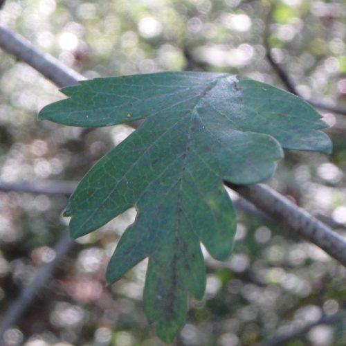 Crataegus Monogyna Aubépine Feuilles