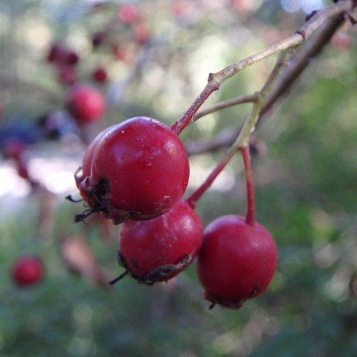 Crataegus Monogyna Aubépine Fruit