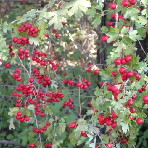 Crataegus Monogyna Fruits 3