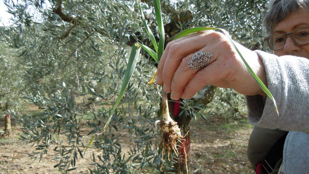 Allium Porrum Poireau Sauvage