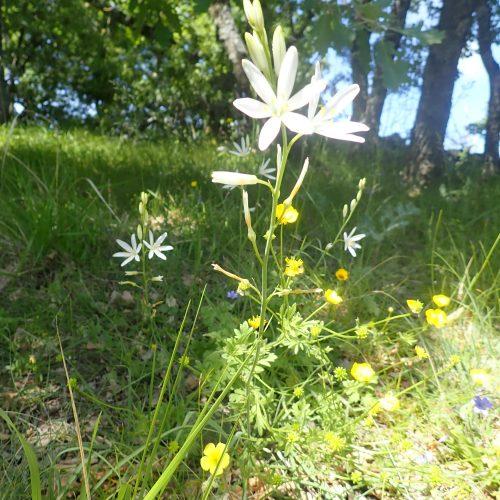 Anthericum Liliago Phalangère à Fleur De Lys