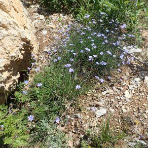 Aphyllantes Monspeliensis2