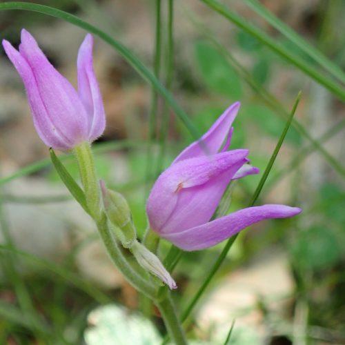 Cephalantera Rubra Cephalantère Rose