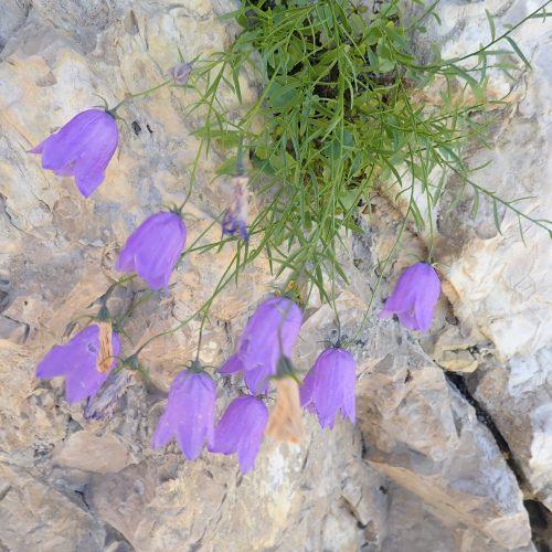 Campanula Rotundifolia Subsp. Macrorhiza Trevans