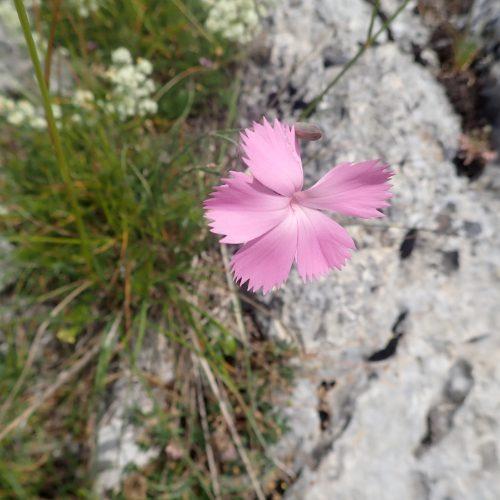 Dianthus Gallicus