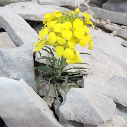 Erysimum Rhaeticum Velar De Suisse1