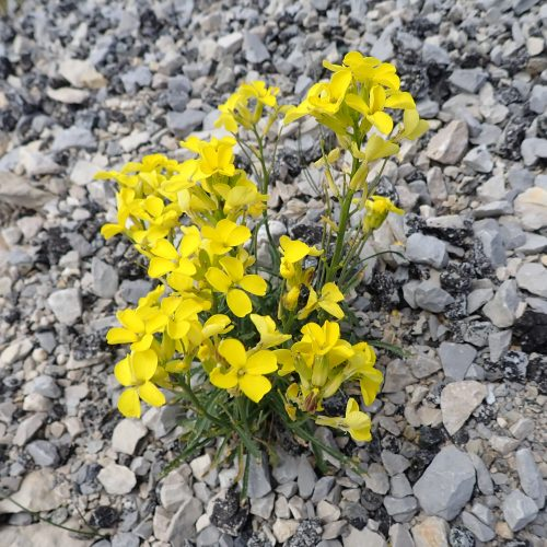 Erysimum Rhaeticum Velar De Suisse2