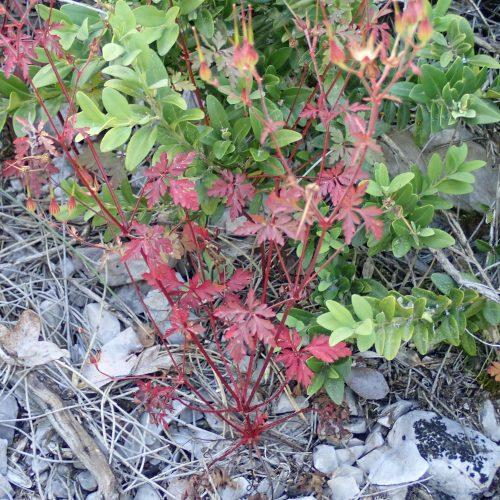 Geranium Robertianum Feuilles